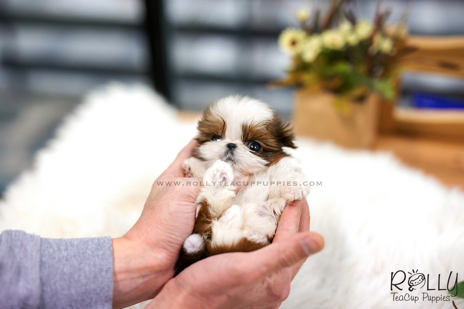 Sold To Zubrick Penny Shih Tzu F Rolly Teacup Puppies