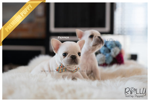 (SOLD to Audet) Pepper - French. M - Rolly Teacup Puppies
