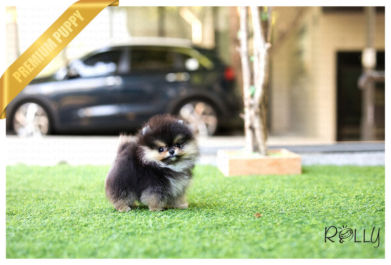 (Purchased by Haddad) Pepper - Pomeranian. M - Rolly Teacup Puppies