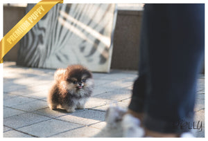 (Purchased by Haddad) Pepper - Pomeranian. M - Rolly Teacup Puppies - Rolly Pups