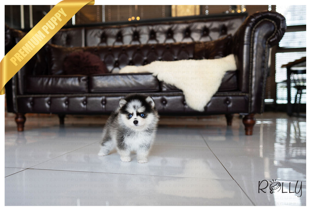 (Purchased by Grubbs) Pepper - Pomsky. F - Rolly Teacup Puppies - Rolly Pups