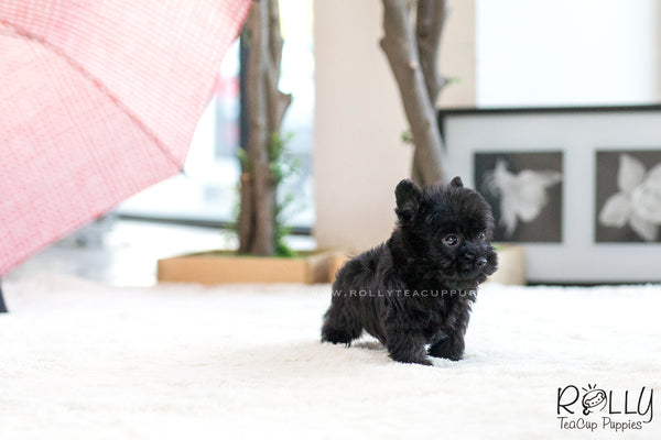 (SOLD to Jerro) Pepper - Scottish Terrier. F