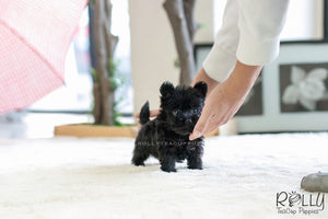 (SOLD to Jerro) Pepper - Scottish Terrier. F - Rolly Teacup Puppies