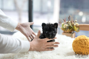 (SOLD to Jerro) Pepper - Scottish Terrier. F - Rolly Teacup Puppies - Rolly Pups