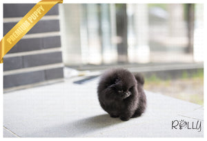(Purchased by Koupal) Pepsi - Pomeranian. F - Rolly Teacup Puppies