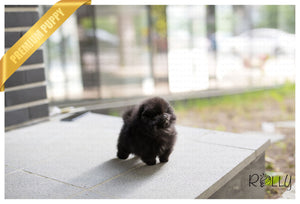 (Purchased by Koupal) Pepsi - Pomeranian. F - Rolly Teacup Puppies - Rolly Pups