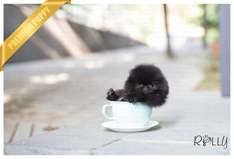 (Reserved by Koupal) Pepsi - Pomeranian. F - Rolly Teacup Puppies