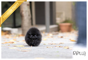(Purchased by Lange) Pepsi - Pomeranian. M - Rolly Teacup Puppies