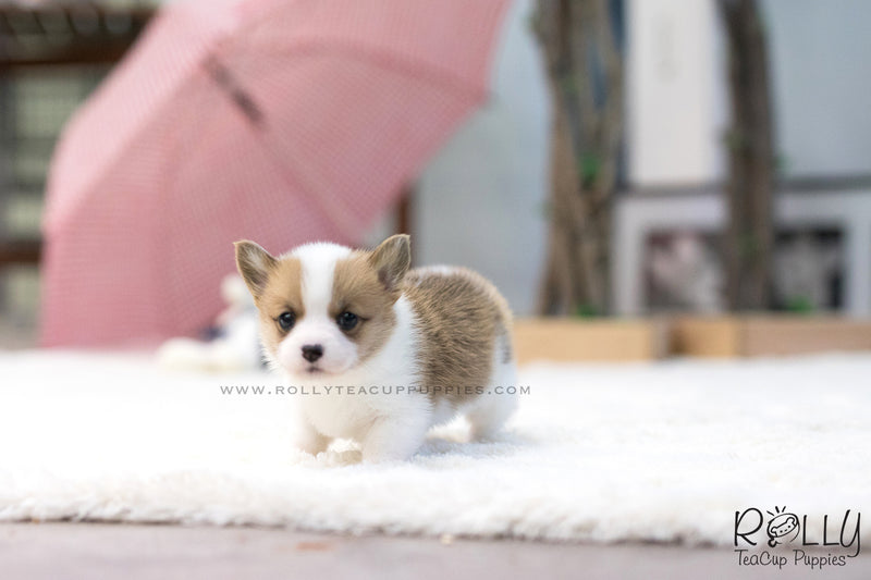 (SOLD to Wei) Pickle - Corgi. F - Rolly Teacup Puppies - Rolly Pups