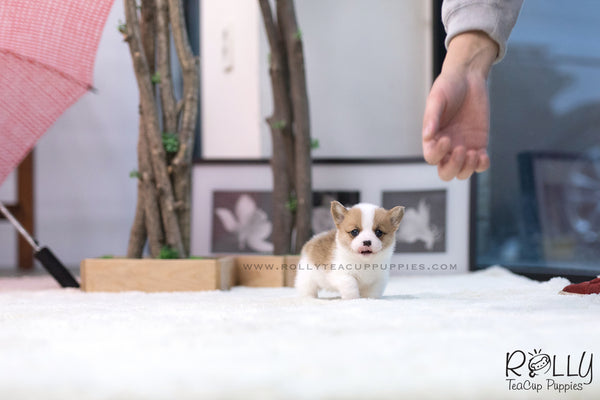 (SOLD to Wei) Pickle - Corgi. F - Rolly Teacup Puppies