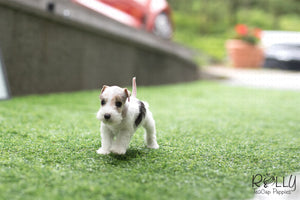 (SOLD to Jefferson) Pikachu - Fox Terrier. F - Rolly Teacup Puppies