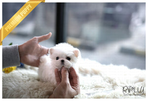 (Purchased by Lee) Pinto - Maltese. M - Rolly Teacup Puppies