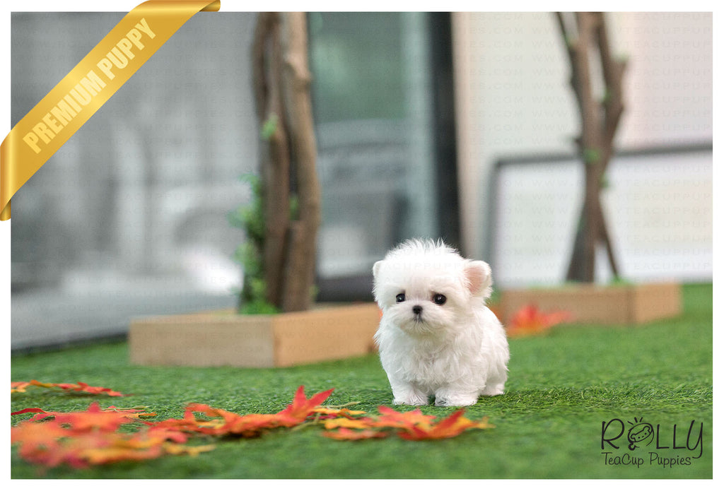 (Purchased by Lee) Pinto - Maltese. M - Rolly Teacup Puppies - Rolly Pups