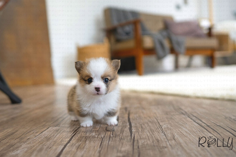 (RESERVED by Rich) PIPER - Corgi. F - ROLLY PUPS INC