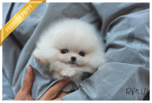 (Purchased by Rogers) Piper - Pomeranian. F - Rolly Teacup Puppies - Rolly Pups