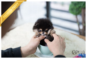 (Purchased by Kasower) Piper - Rolly Teacup Puppies - Rolly Pups