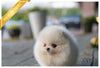 (Purchased by Rogers) Piper - Pomeranian. F - Rolly Teacup Puppies