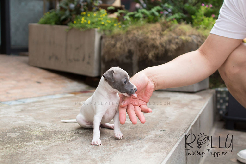 Pixie - Italian Gray Hound - Rolly Teacup Puppies - Rolly Pups