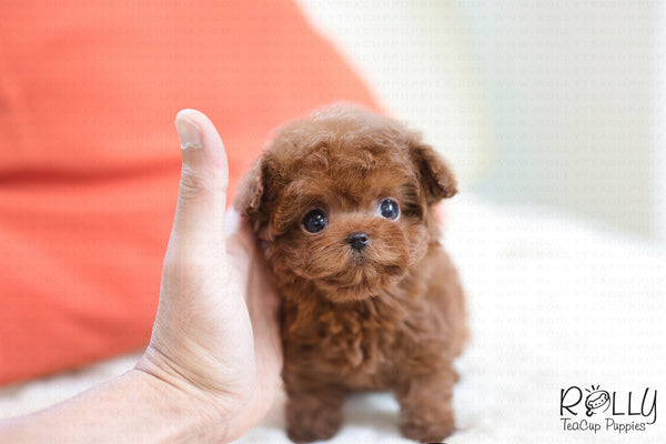 (SOLD to Dimou) Pobi - Poodle. F - Rolly Teacup Puppies