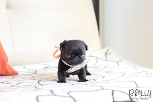 (SOLD to Mizrahi)Pobi - Pug. M - Rolly Teacup Puppies - Rolly Pups