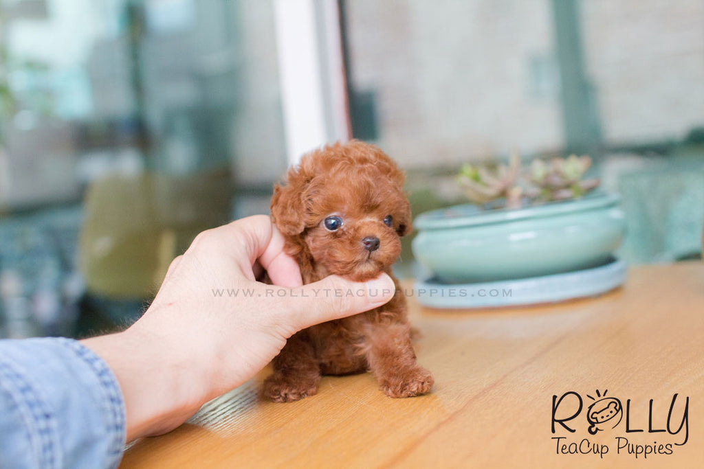 May - Poodle - Rolly Teacup Puppies