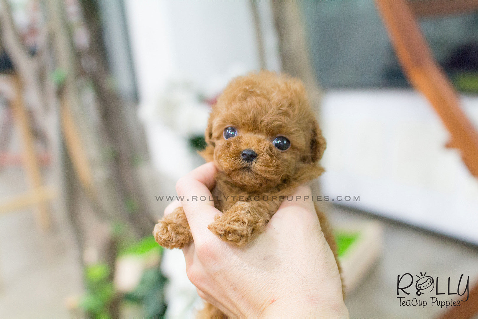 Bambi Poodle Rolly Teacup Puppies