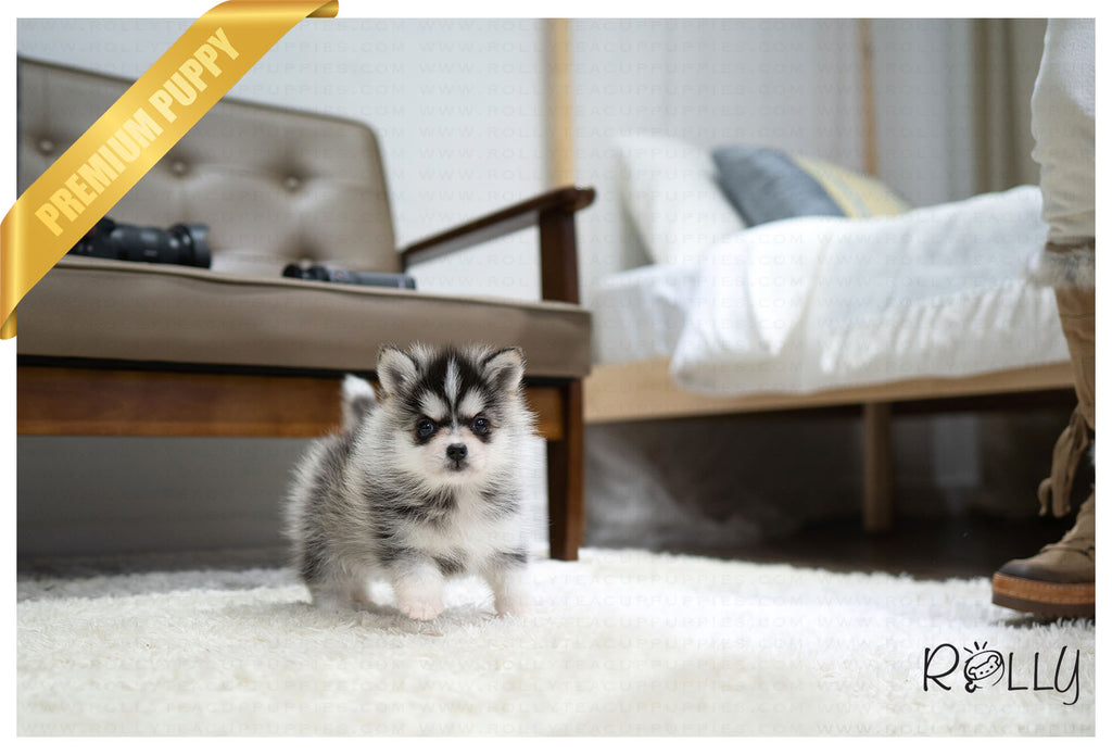POLARIS - Pomsky. F - Rolly Teacup Puppies - Rolly Pups