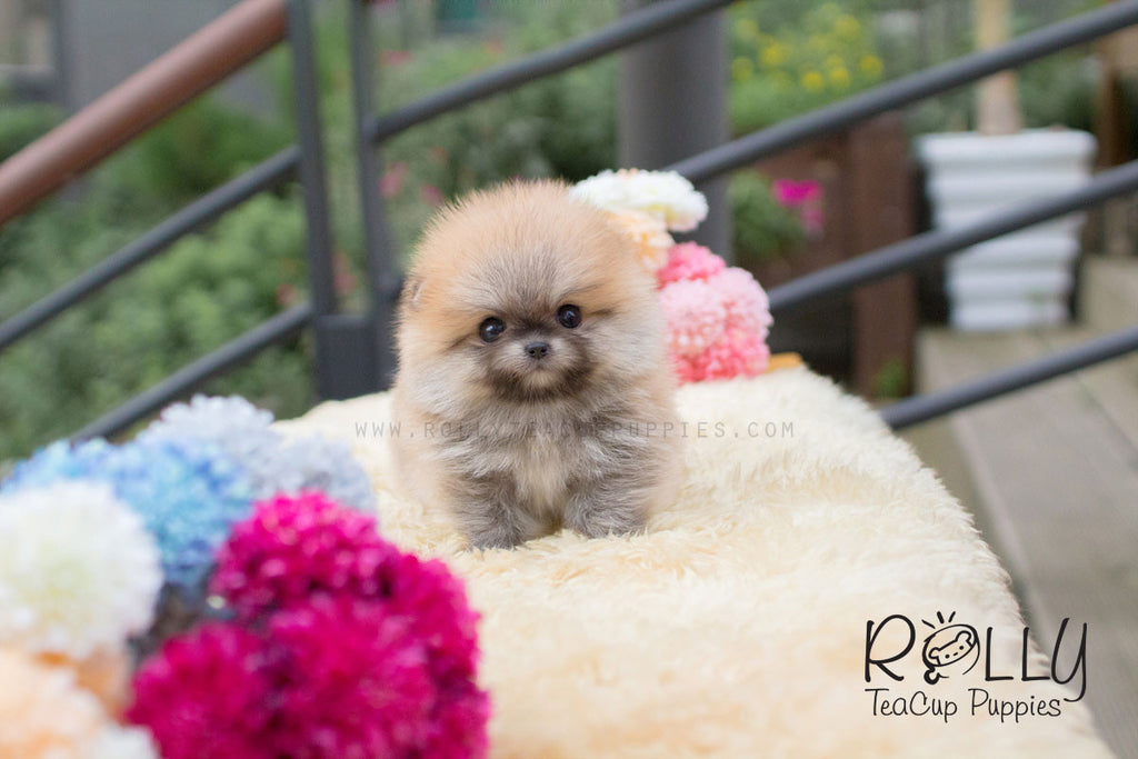 Cody - Pomeranian - Rolly Teacup Puppies