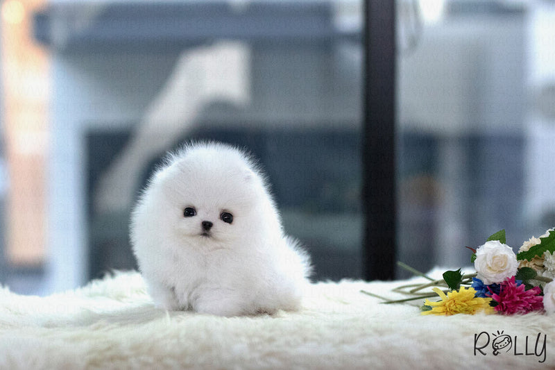 (Reserved by Bal) Jolly - Pomeranian. F