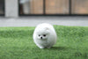 (Purchased by Bal) Jolly - Pomeranian. F - ROLLY PUPS INC