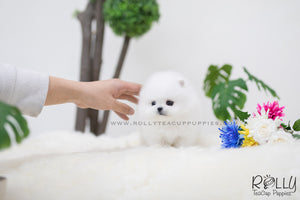 (SOLD to Don) Sunny - Pomeraninan. F - Rolly Teacup Puppies