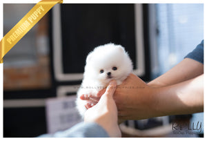 (SOLD to Mendoza) Rain - Pomeranian. M - Rolly Teacup Puppies - Rolly Pups