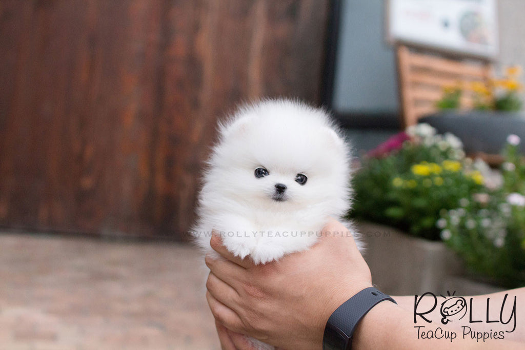 Milly - Pomeranian - Rolly Teacup Puppies