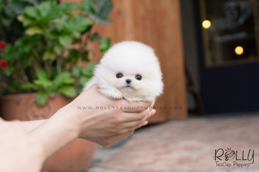 Snow White - Pomeranian - Rolly Teacup Puppies