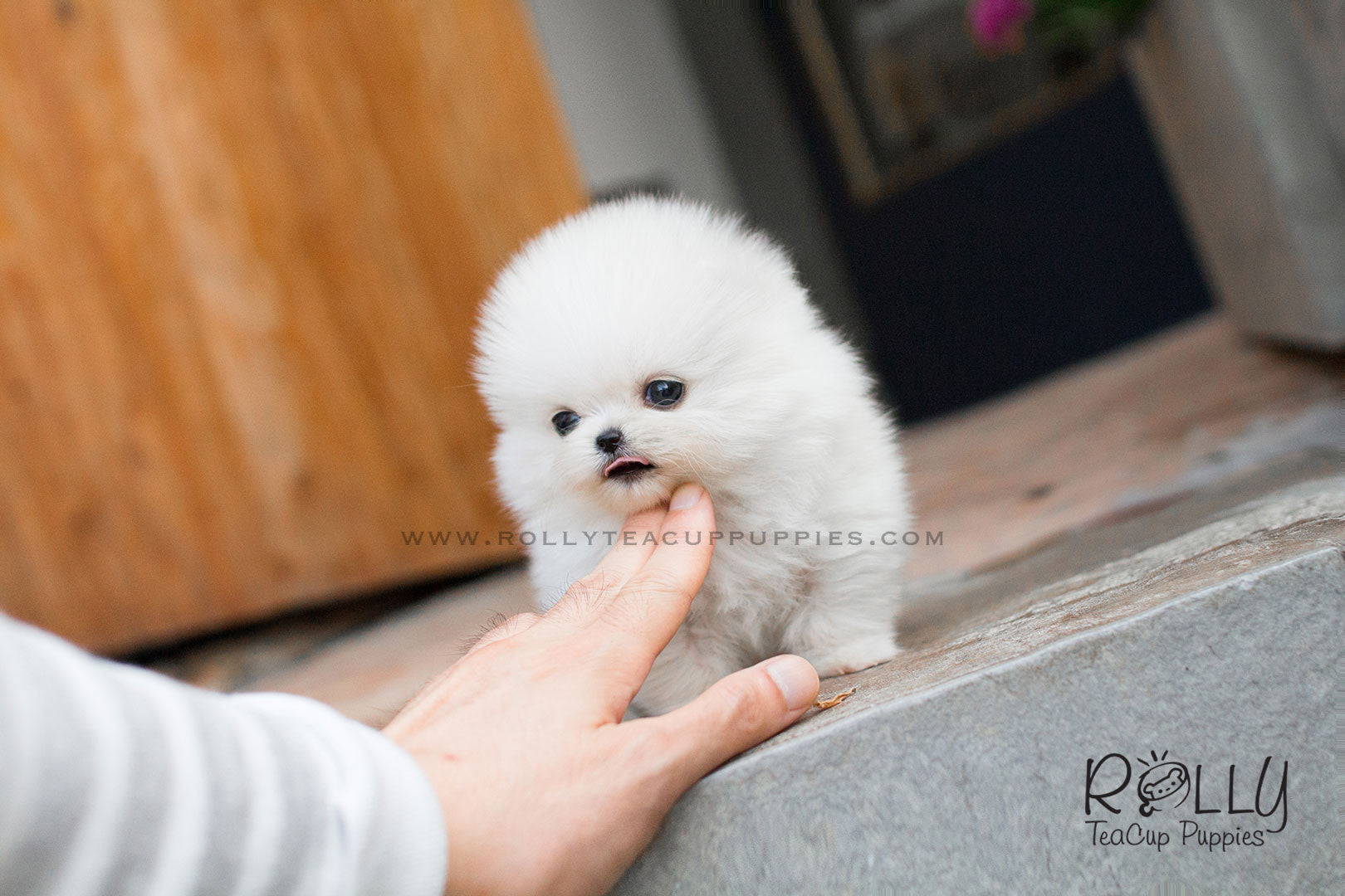 Snow White - Pomeranian– Rolly Teacup Puppies