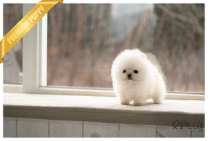 (PURCHASED by Hashimi) MOCHI - Pomeranian. M - Rolly Teacup Puppies - Rolly Pups