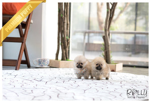 (Sold to Vag) Lucas - Pomeranian. M - Rolly Teacup Puppies - Rolly Pups