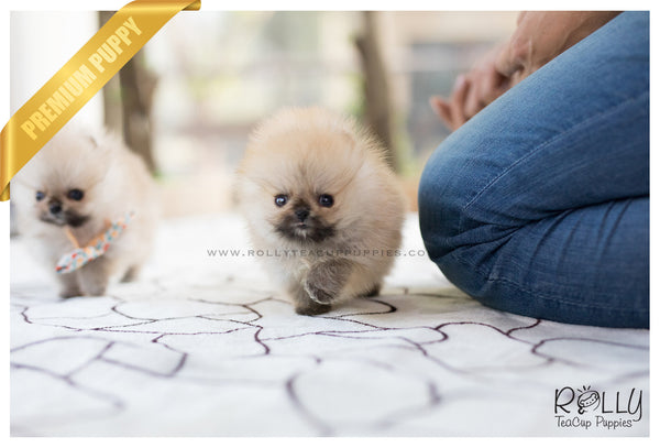 (Sold to Vag) Lucas - Pomeranian. M - Rolly Teacup Puppies