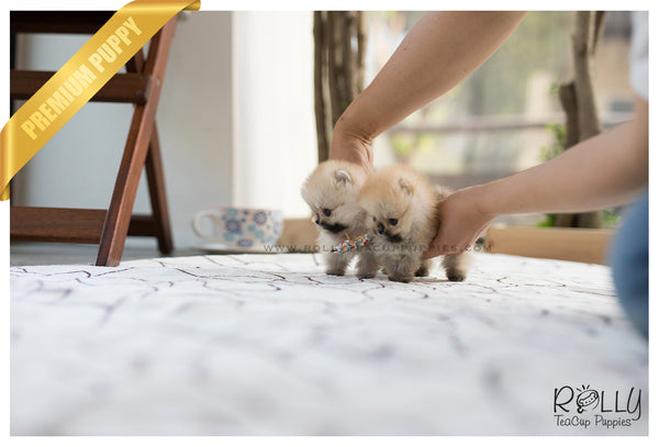 (SOLD to Lynn) Lucy - Pomeranian. F - Rolly Teacup Puppies