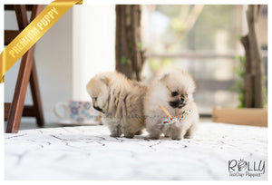 (SOLD to Lynn) Lucy - Pomeranian. F - Rolly Teacup Puppies - Rolly Pups