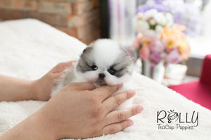 Sophie - Pomeranian - Rolly Teacup Puppies