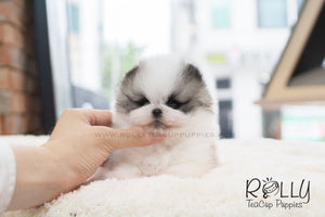 Sophie - Pomeranian - ROLLY PUPS INC