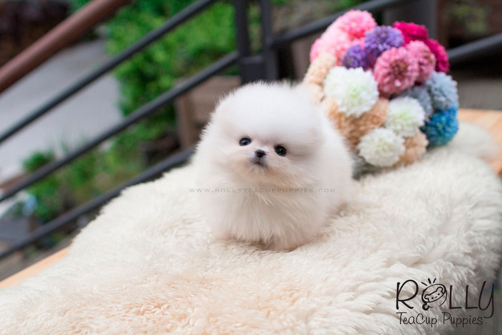 Sunny - Pomeranian - Rolly Teacup Puppies