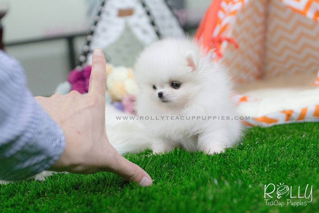 Brie - Pomeranian - Rolly Teacup Puppies
