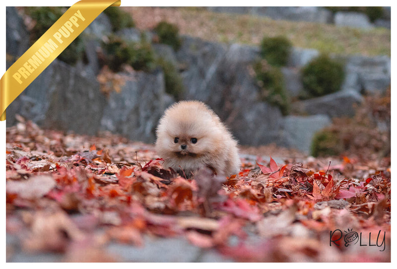 (RESERVED by Jenny) POMPOM -Pomeranian. F - Rolly Teacup Puppies - Rolly Pups