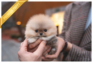 (PURCHASED by Jenny) POMPOM -Pomeranian. F - Rolly Teacup Puppies - Rolly Pups