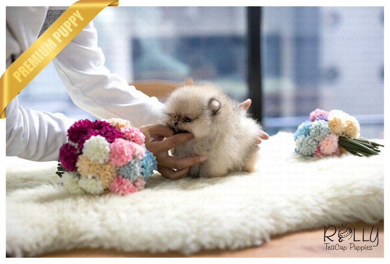 (Purchased by REA) Pompom - Pomeranian. F - Rolly Teacup Puppies
