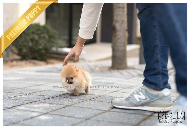 (SOLD to Williams) Pom Pom - Pomeranian. M - Rolly Teacup Puppies - Rolly Pups