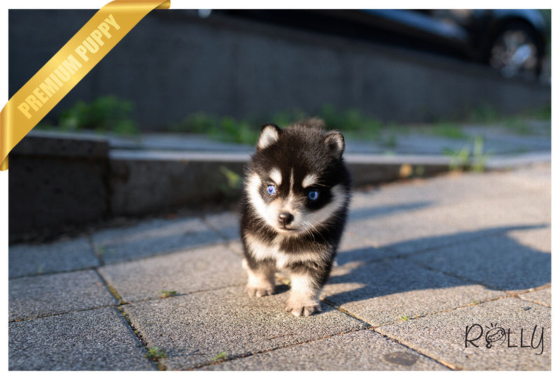 (Purchased by Kleyner) HARPER - Pomsky. F - Rolly Teacup Puppies