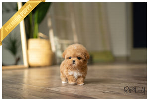 (PURCHASED by Andrew) PRINCESS - Poodle. F - Rolly Teacup Puppies - Rolly Pups